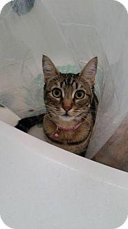 Domestic Shorthair Kitten for adoption in Morgan Hill, California - Chloe