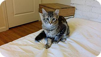Domestic Mediumhair Kitten for adoption in Stafford, Virginia - Morgan