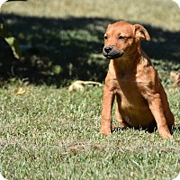 Adopt A Pet :: Calpurnia - Groton, MA
