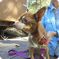 Chihuahua Dog for adoption in Blairsville, Georgia - TEDDY