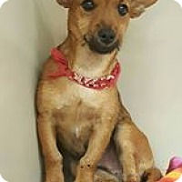 Chihuahua Mix Puppy for adoption in Snyder, Texas - Hot Rod