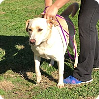 Labrador Retriever Dog for adoption in Troy, Illinois - Helena Fostered (Matt F)