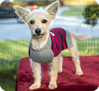 Standard Schnauzer/Wirehaired Fox Terrier Mix Dog for adoption in Alvin, Texas - Elizabeth and Hamilton-bonded loves