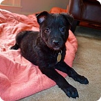 Adopt A Pet :: Roxie - Knoxville, TN