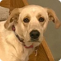 Adopt A Pet :: Bella Boo - Laingsburg, MI