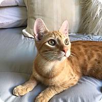 Adopt A Pet :: Cassio* - Brooklyn, NY