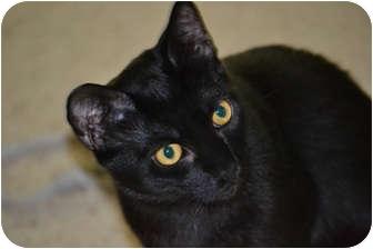 Domestic Shorthair Cat for adoption in Laguna Woods, California - Cisco Kid