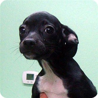 how big will a dachshund chihuahua mix get wiggles adopted puppy thousand palms ca chihuahua 4097