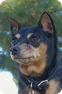 Miniature Pinscher Mix Dog for adoption in Phoenix, Arizona - Callie