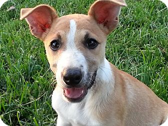 Jack Russell Terrier Mix Puppy for adoption in Linton, Indiana - Rose