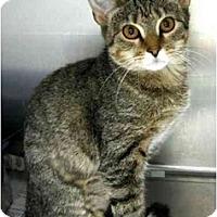 Adopt A Pet :: Lynx - Alexandria, VA