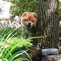 Adopt A Pet :: Zorro - Dix Hills, NY
