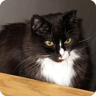 Domestic Longhair Cat for adoption in Toronto, Ontario - Handsome