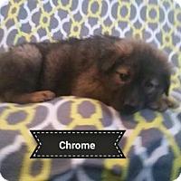 Adopt A Pet :: Chrome - Royal Palm Beach, FL