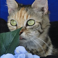 Domestic Mediumhair Cat for adoption in Jackson, New Jersey - Penelope