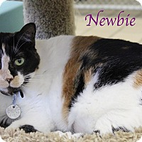 Domestic Shorthair Cat for adoption in Bradenton, Florida - Newbie