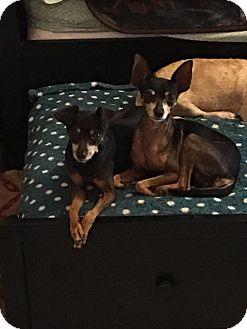 Miniature Pinscher Mix Dog for adoption in Brooksville, Florida - Beloved