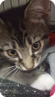 American Shorthair Cat for adoption in Hallandale, Florida - Guinevere