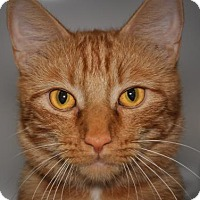 Domestic Shorthair Cat for adoption in Alexandria, Virginia - Wildfire