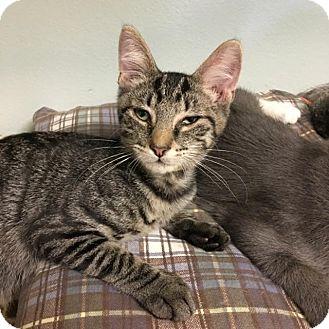 Domestic Shorthair Kitten for adoption in Westminster, California - Max