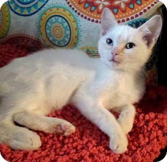 Domestic Shorthair Kitten for adoption in Virginia Beach, Virginia - Micheles Flame