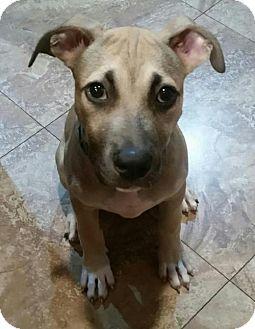 Terrier (Unknown Type, Medium) Mix Dog for adoption in Oakland Park, Florida - Joshua