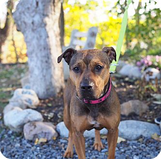 Pit Bull Terrier Mix Dog for adoption in Whitehall, Pennsylvania - Betty Brown