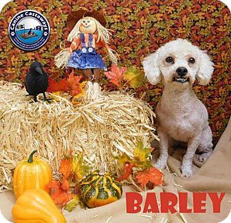 Poodle (Miniature) Dog for adoption in Arcadia, Florida - Barley