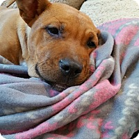 Pit Bull Terrier Mix Puppy for adoption in Durham, North Carolina - Cienna