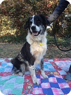 Great Pyrenees/Australian Shepherd Mix Dog for adoption in Salisbury, North Carolina - Bandit