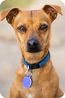 Chihuahua Mix Dog for adoption in Fresno, California - Pablo