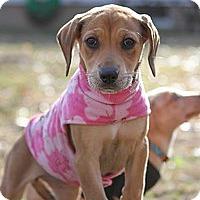Adopt A Pet :: Daizee - Bradenton, FL