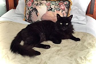 Domestic Mediumhair Cat for adoption in Palm Springs, California - Mikey