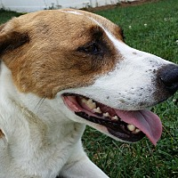 Adopt A Pet :: Dixie - Mechanicsburg, PA