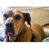 Adopt A Pet :: Bailey - Boston, MA