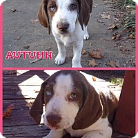 Adopt A Pet :: Autumn in CT - Manchester, CT