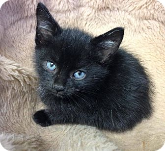 Domestic Shorthair Kitten for adoption in Hendersonville, North Carolina - Chihuahua