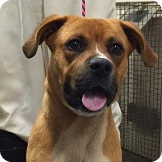 Boxer/Shepherd (Unknown Type) Mix Dog for adoption in Hamilton, Georgia - Atticus