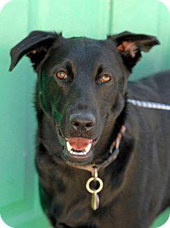 Labrador Retriever/German Shepherd Dog Mix Dog for adoption in Pottsville, Pennsylvania - Shadow