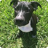 Adopt A Pet :: Bruce Wayne (aka Batman) - Jacksonville, FL