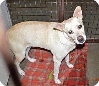 Labrador Retriever/Shepherd (Unknown Type) Mix Dog for adoption in San Jacinto, California - Gabby