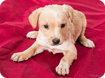 Chihuahua/Dachshund Mix Puppy for adoption in Sonora, California - BUD