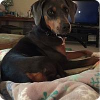 Adopt A Pet :: Bleu - Salisbury, NC