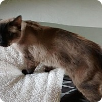Siamese Cat for adoption in Arlington/Ft Worth, Texas - Chase
