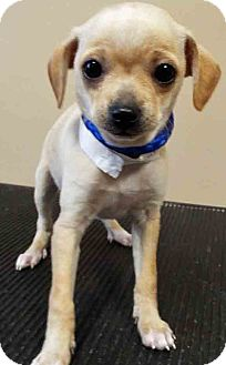 Chihuahua/Terrier (Unknown Type, Small) Mix Puppy for adoption in Oswego, Illinois - Monica
