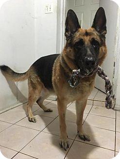 Shepherd (Unknown Type) Mix Dog for adoption in Whitestone, New York - Ernie
