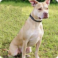 American Staffordshire Terrier/Husky Mix Dog for adoption in Tamarac, Florida - Loki