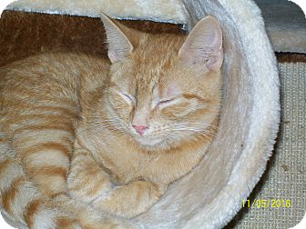 Domestic Shorthair Cat for adoption in Mexia, Texas - Oliver