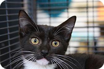 Domestic Shorthair Kitten for adoption in Sarasota, Florida - Guinevere
