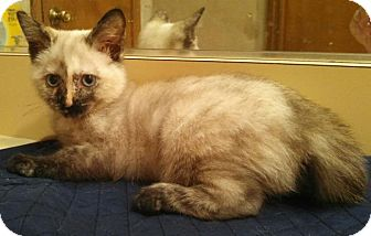Siamese Kitten for adoption in Ocala, Florida - Lucy Liu